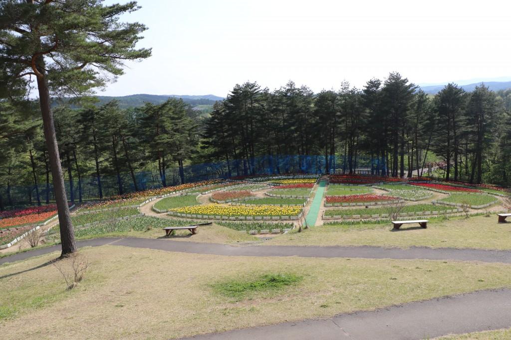 チューリップ開花情報(2019.05.17)